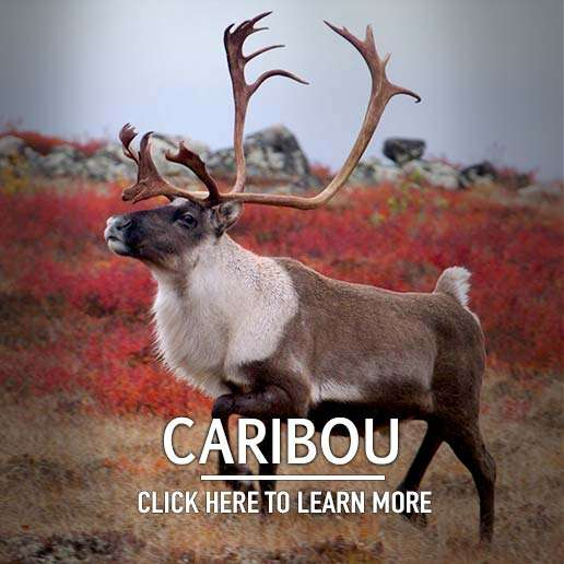 Caribou Hunting