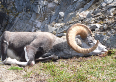 British Columbia Stone Sheep Hunt