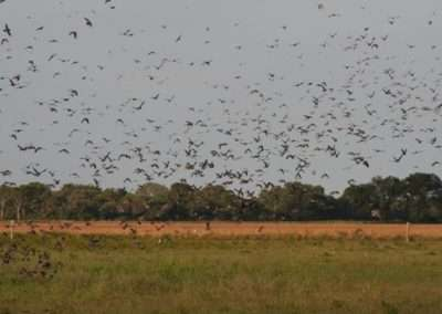 Dove Hunt Argentina 2012 image 1