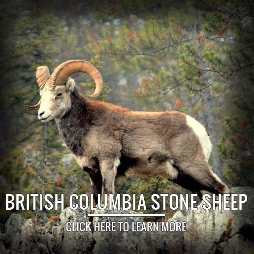 British Columbia Stone Sheep Hunting