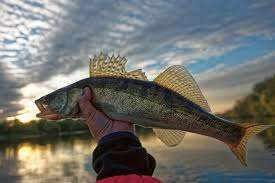 Walleye Fishing Image