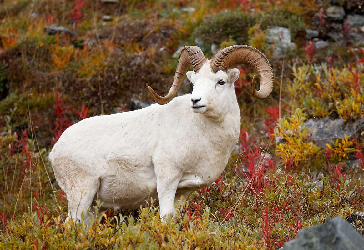Western Alaska Range Dall Sheep Hunt