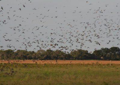 Argentina Dove Hunting 3
