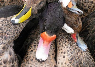 Argentina Ducks- Rosey bills