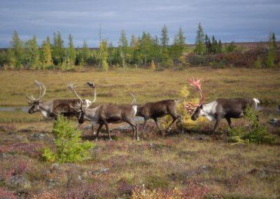 Manitoba Caribou Hunting