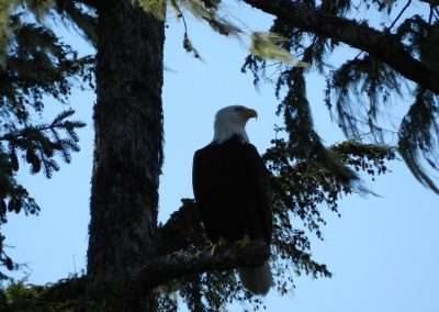bald-eagle-perched-in-tree