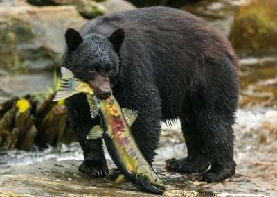 black-bear-eating-dog-salmon-fish-pass