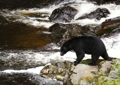 southeast-alaska-black-bear-fishing