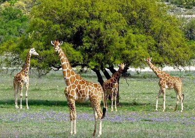 giraffes-1024x768