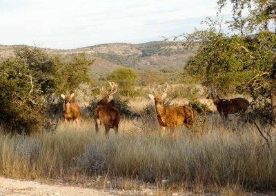 texas-barasignha-hunting-1024x768