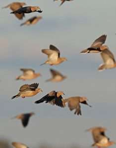 Argentina dove hunting with Carey Story