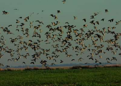 AR dove hunting 8