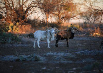 TX Whitetail Hunting