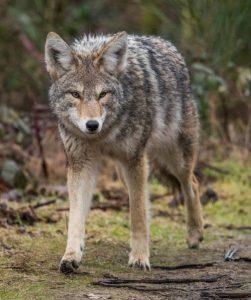 Texas coyote hunting