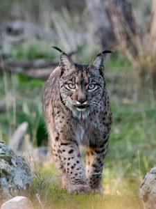 Texas Bobcat hunting