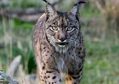 Texas Bobcat hunting 6
