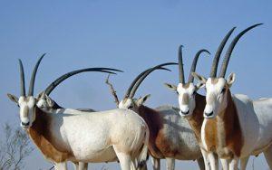 Texas Exotics Trophy Hunting