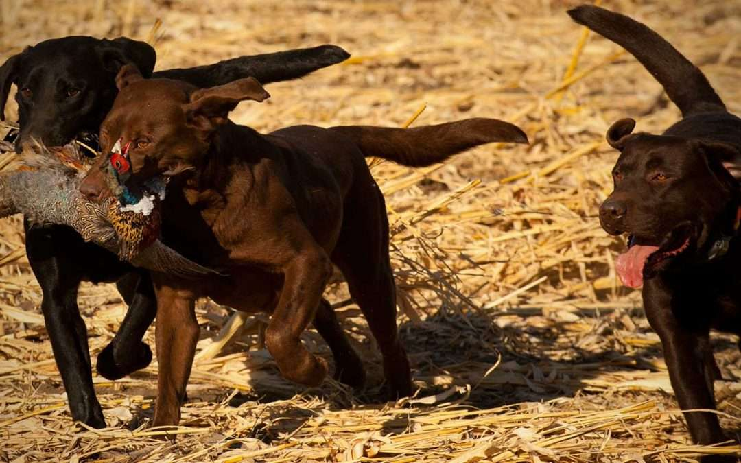 Thunderstik hunting dogs