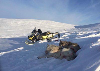 Alaska Wolves Hunting