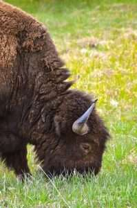 Bison grazing in grass