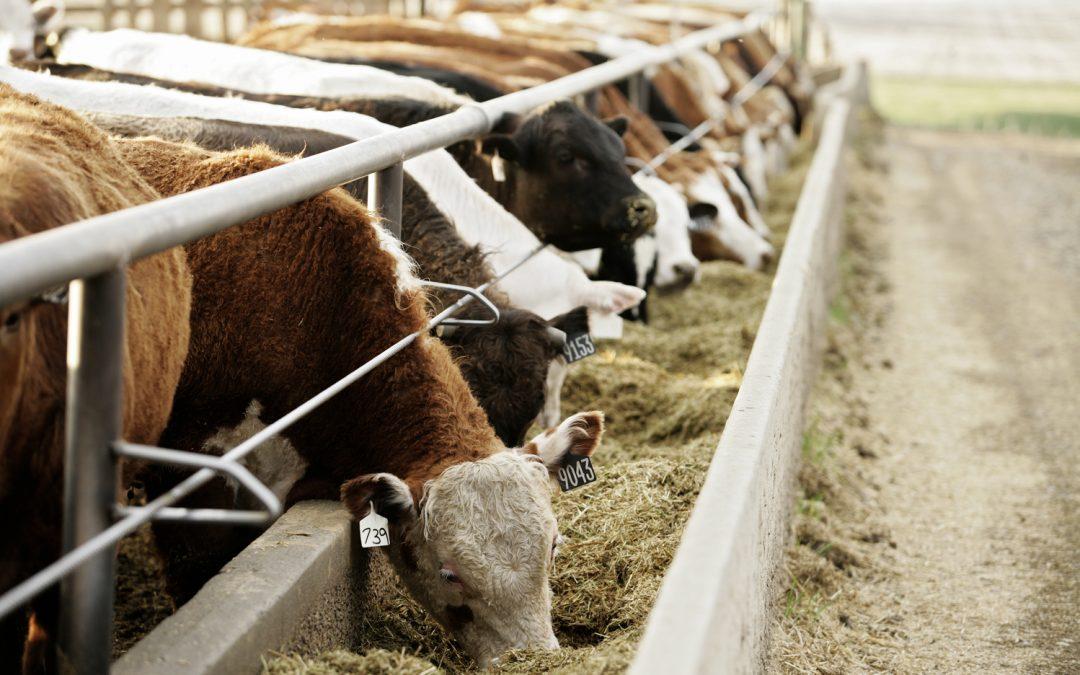 beef cattle in feedlot